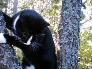 Sippo klättrar i plommonträdet i Åkersberga.